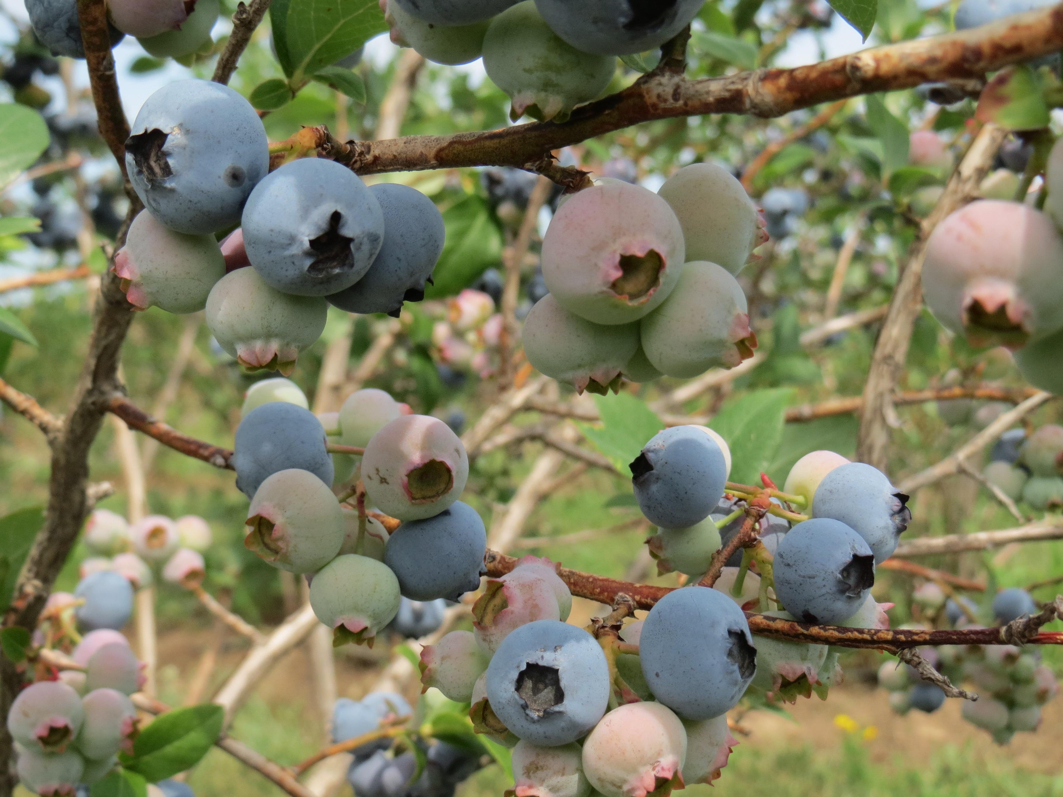 Wisconsin Blueberries