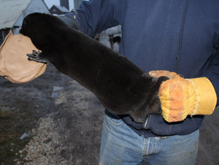 Wisconsin mink: the fiber of a strong agriculture industry