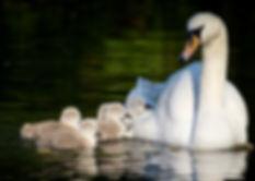Birds-Swan-family-in-lake-walk-Wallpaper