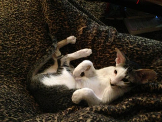 Pet of the Month - Kenzi the Oriental Shorthair