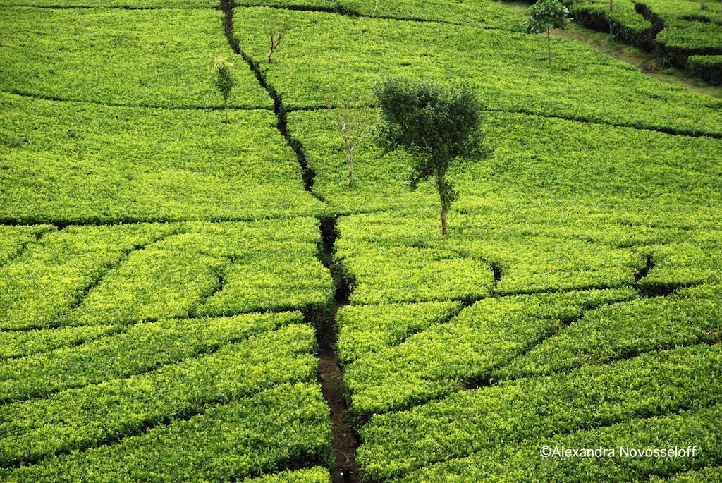 18-Tea Plantation