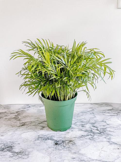 """6"""" Parlor Palm Plant"""