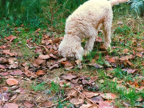 Tartufi: il primo cane anti veleno, l'esperimento a Frosolone...