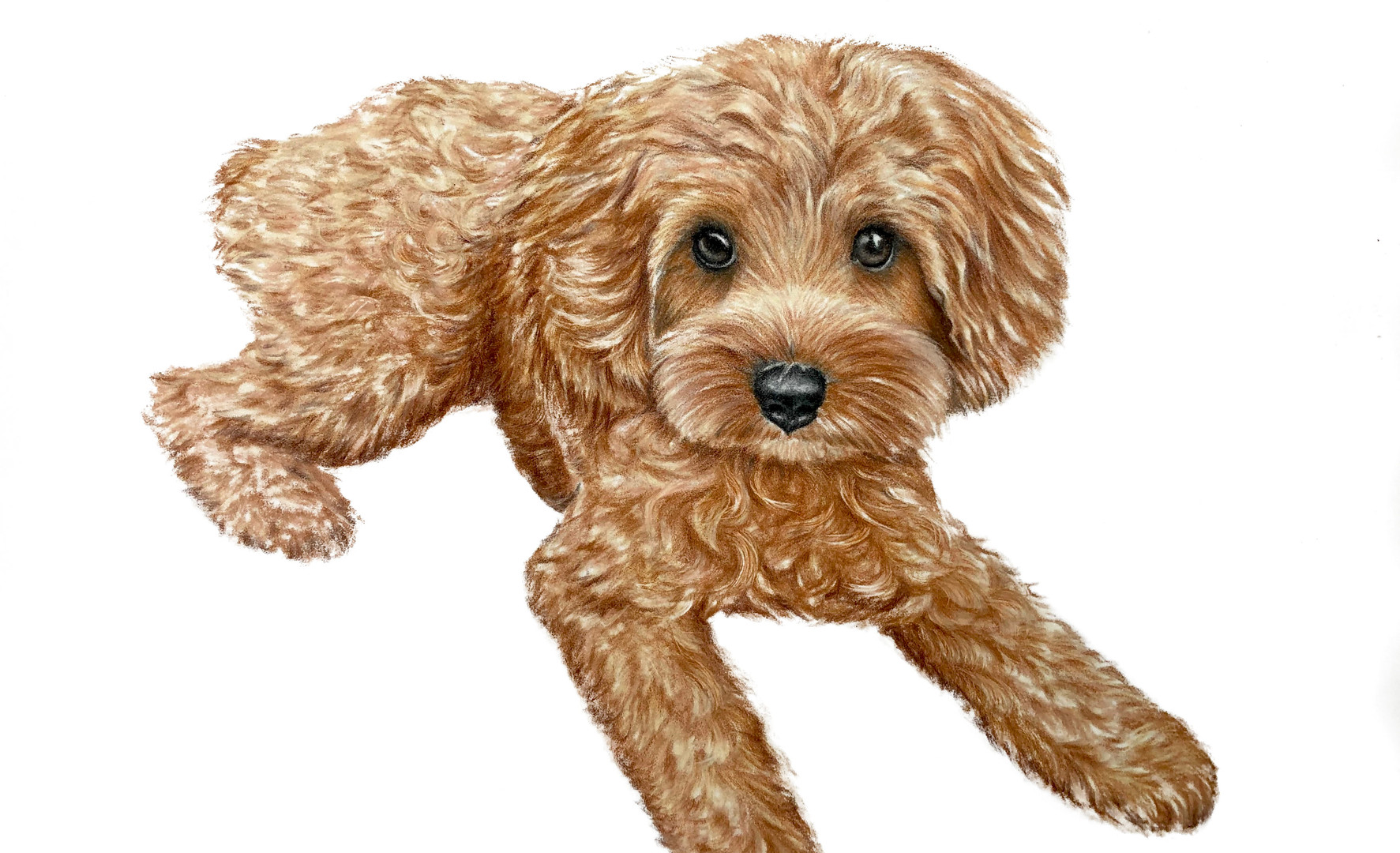 Cavapoo Puppy Pet Portrait