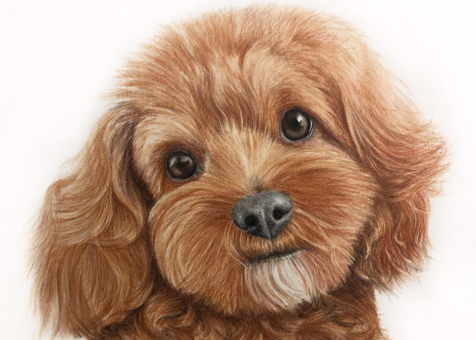 Cavapoo Pet Portrait
