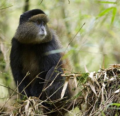 Golden Monkey in Mgahinga Gorilla National Park