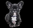50-505811_bulldog-puppy-no-background-fr