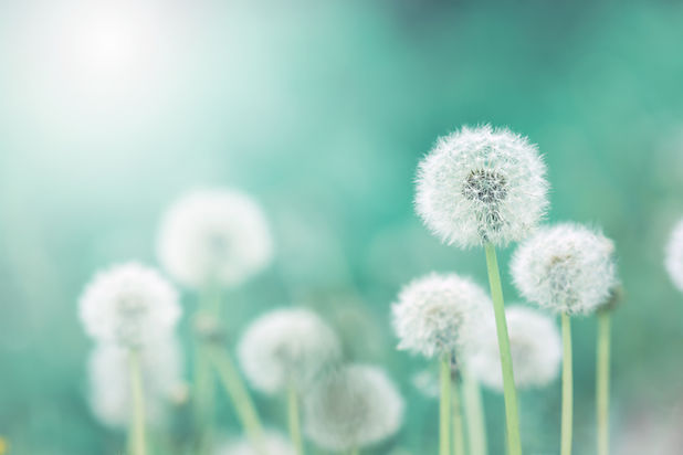 White fluffy dandelions, natural green b