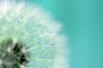 Dreamy dandelion macro.jpg