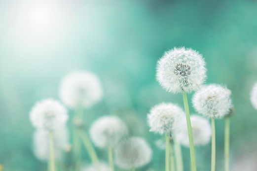 White fluffy dandelions, natural green b
