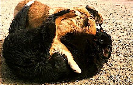 23 Bernese Mountain Dog Leonberger playtime safewrestling