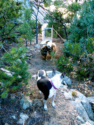11 Bella waiting for Olive Issac to hike into fenced3 acres