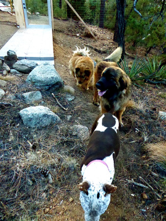 12 Bella leading the pack up the trail leash free into the fenced forest