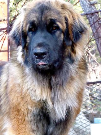 28 OLIVE giant breed Leonberger