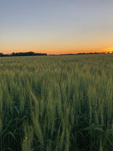 sunset field.jpg