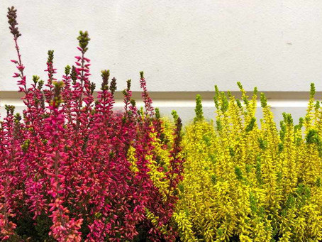 Heather and it's medicinal properties