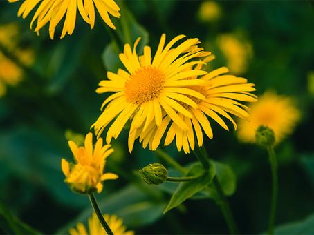 Arnica and its amazing healing properties