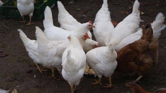 Lækre økologiske kyllinger til salg snart