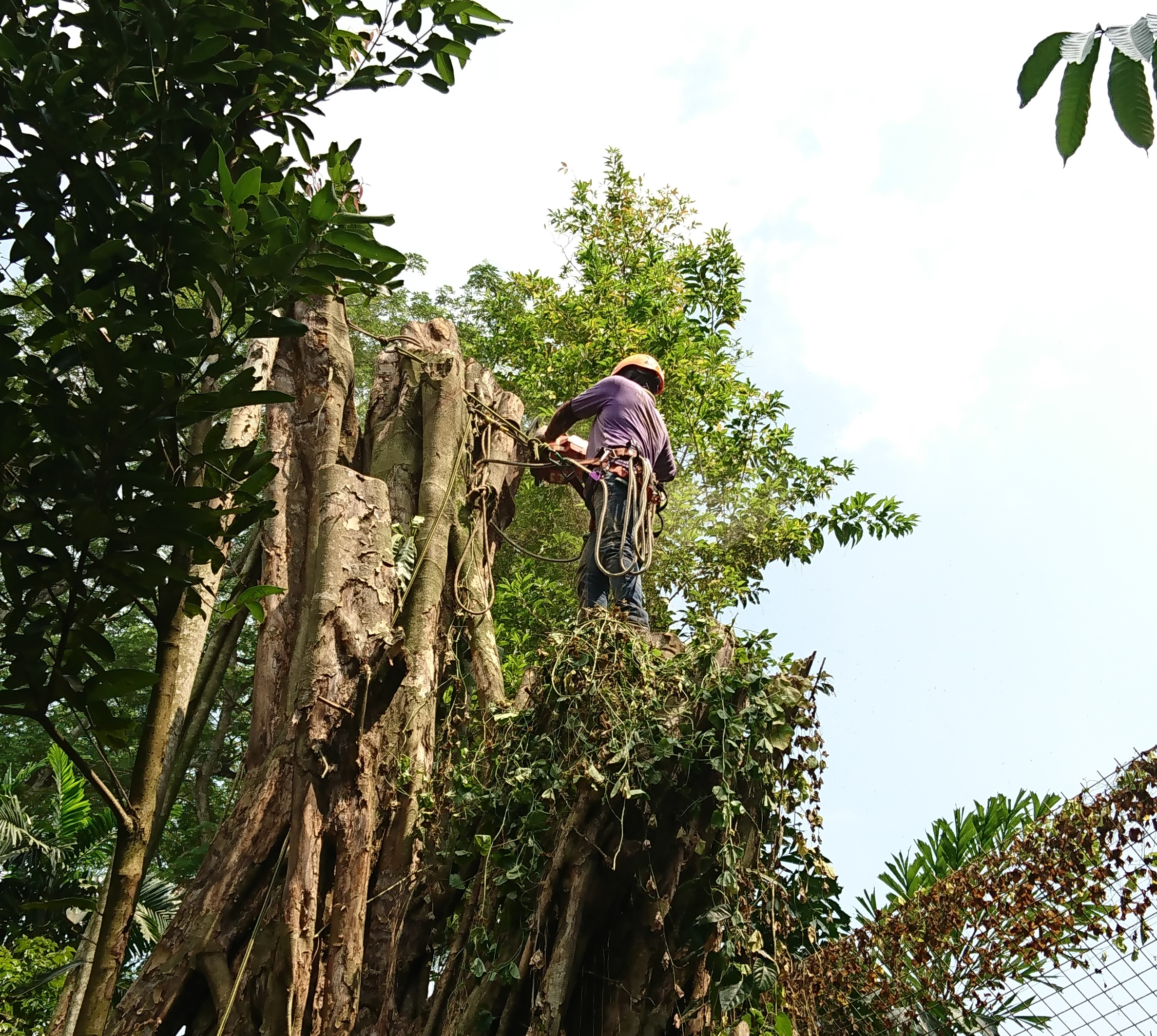 An arborist at work. He uses a cut porti