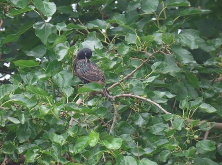 European Starling, preening
