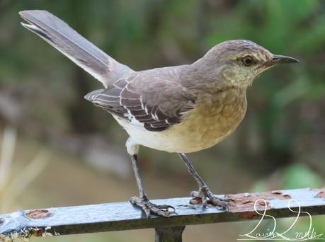 jamaica mockingbird.JPG
