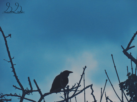 crow perched.jpg