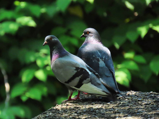 Rock Dove pair