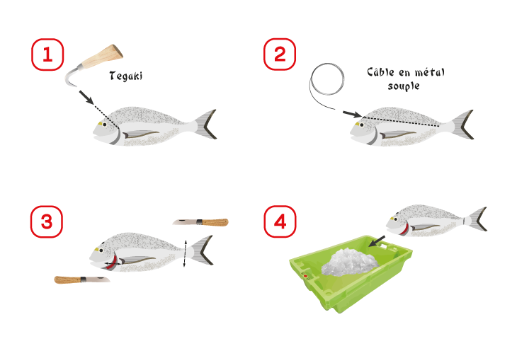 Présentation des quatre étapes de l'abattage à la méthode ikejime