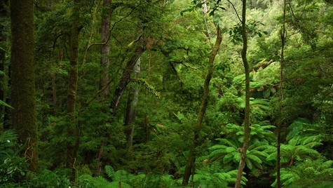 Ancient Forest, Otway National Park, NSW