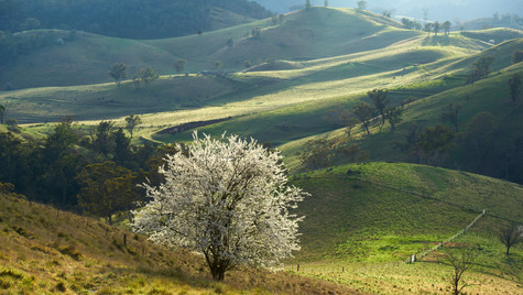 Blossum Tree, Hampton NSW