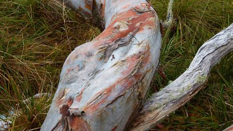 Reclining Snowgum, Alpine National Park, Victoria Australia