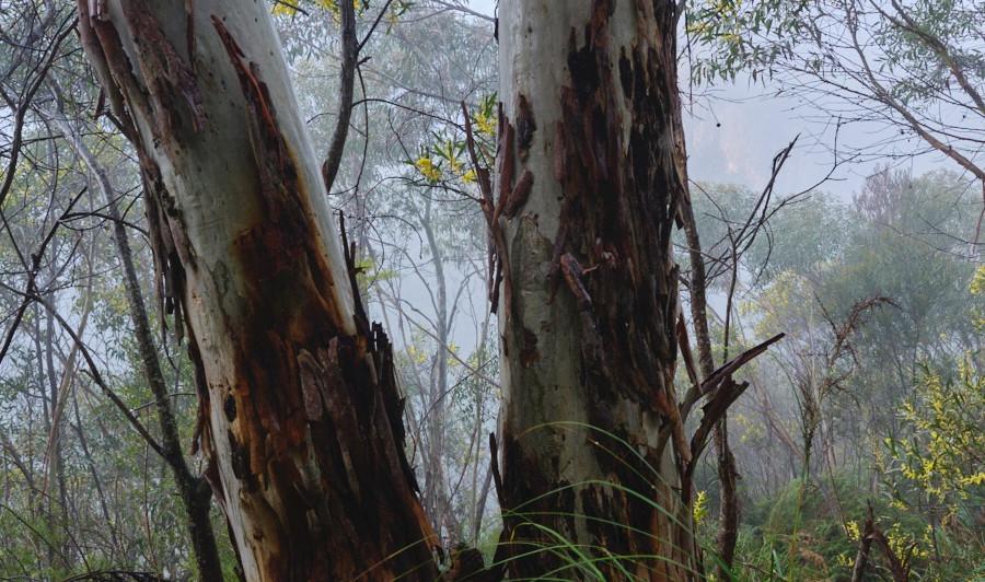 Blue Mountains Ash, Blue Mountains National Park, NSW