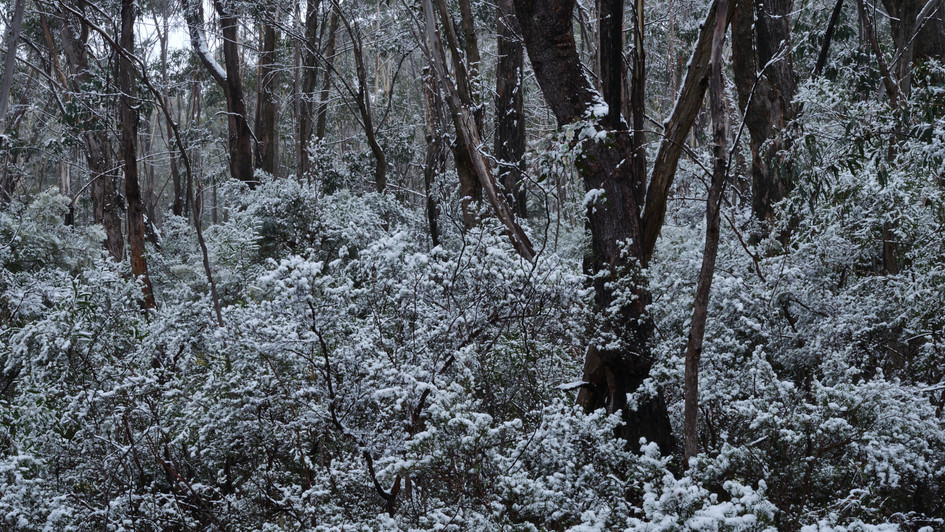 Snow Forest, Blue Mountains National Park, NSW