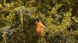 Robin eating Juniper berries