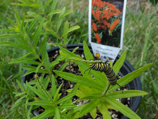 Monarch Caterpillars are feasting