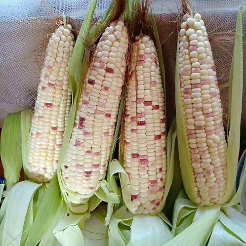 Glutinous Corn /Waxy corn (糯玉米) 1pcs