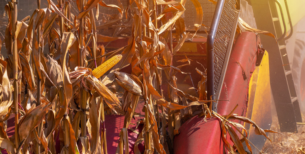 corn-crop-harvest-CB2AFZ4.jpg
