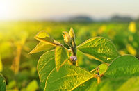 soybean-plant-in-warm-early-morning-ligh