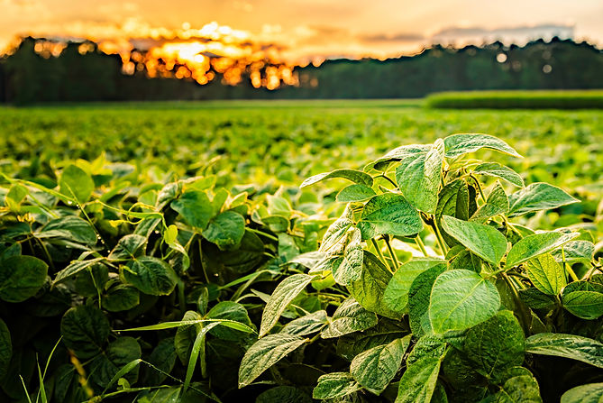 rural-landscape-with-fresh-green-soy-fie