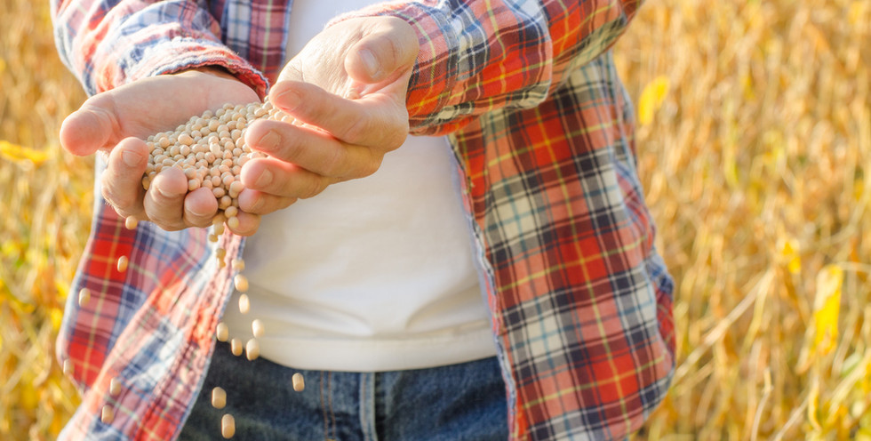farmer-pours-soybean-grains-in-his-hands