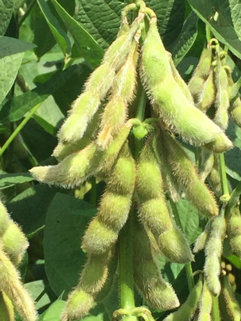 Soybeans Close-Up