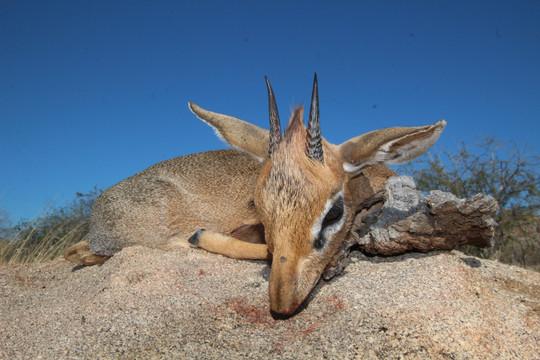 Damara Dik Dik hunted in Namibia with Zana Botes Safari