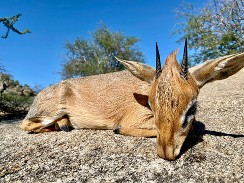 Damara Dik Dik hunting in Namibia with Zana Botes Safari