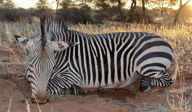 Hartmann Zebra Hunting in Namibia with Zana Botes Safari