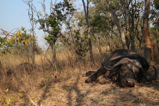 Buffalo Hunting in Namibia with Zana Botes Safari