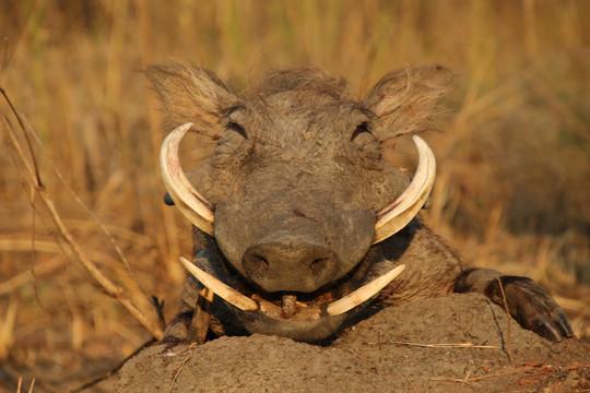Warthog hunting in Namibia with Zana Botes Safari