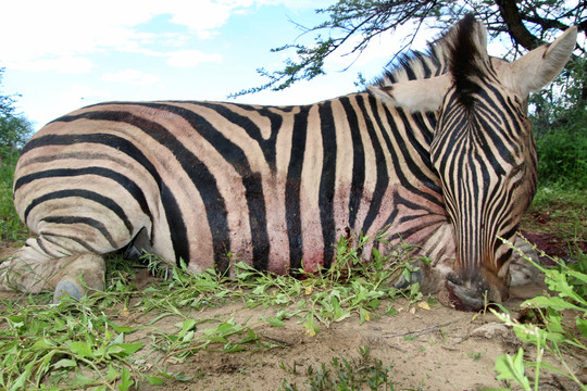 Burchell Zebra Hunting in Namibia with Zana Botes Safari