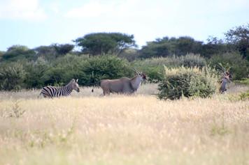 Eland & Zebra