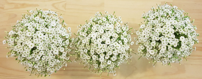 Open Baby's Breath