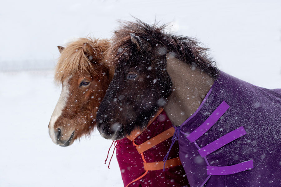 Islandpferde Scheren, Schwitzen, Winter, Scheren Tipps
